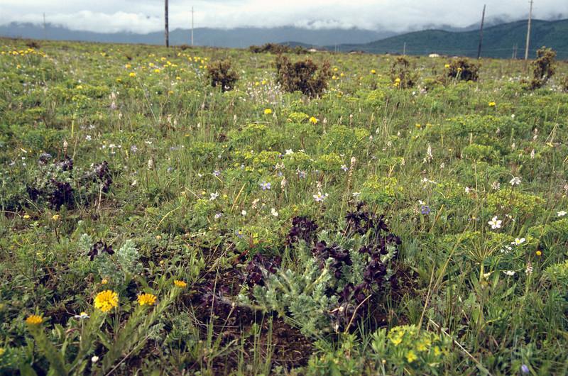 Thermopsis barbata (Zhongdian plateau 4000m)