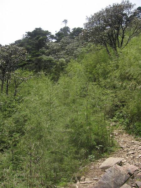 Bambo forest, Cang Shan Dali, Yunnan