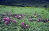 Pedicularis siphonantha