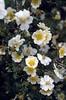 Rosa multiflora near the river Yangtse (Benzilan, Dechen Yunnan)