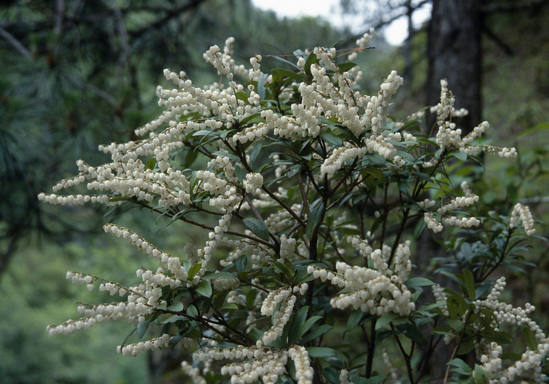 Pieris formosa (Zhongdian region)