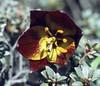 Fritillaria souliei (Tianchi lake 3850m. Zhongdian, Yunnan)