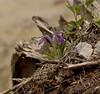 Iris ruthenica var. nana