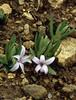 Polygonatum hookeri (Bai Ma Shan 4600m.Yunnan)(rhizome creeping)