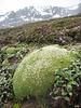 Arenaria polytrichioides (Bai Ma Shan 4800m. Dechen,Yunnan)