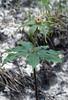 Paris polyphylla var. yunnanensis (Gang Ho Ba 2880m.Yunnan)