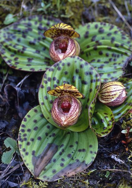 Cypripedium margaritacea (Yulong Xue Shan pas 2860m Yunnan)