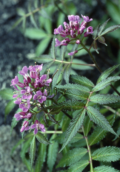 Cardamine macrophylla (Gang Ho Ba 2880m.Yunnan)