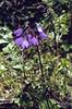 Primula amethystina var. brevifolia