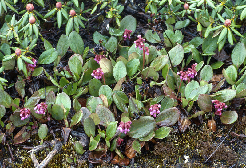 Bergenia purpurascens (Bai Ma Shan 4400m. Dechen, Yunnan)