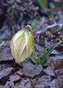 Lilium lophophorum (Bai Ma Shan 4600m. Dechen,Yunnan)