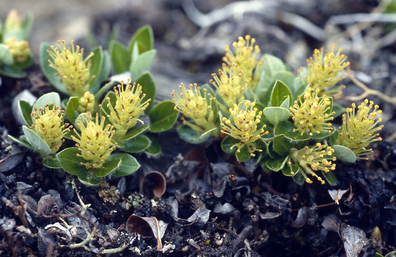 Salix cf. lindleyana