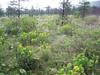 Euphorbia nematocypha