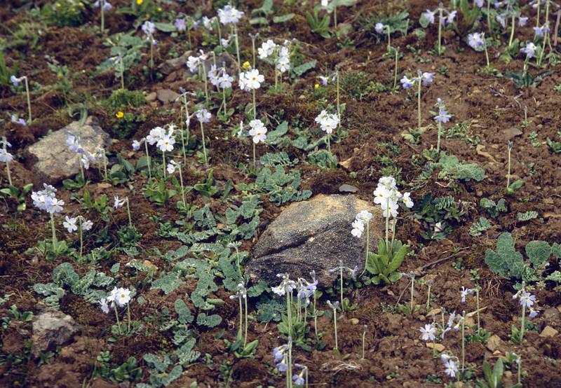 "Primula zambalensis ""Alba"" (Bai Ma Shan 4400m. Dechen, Yunnan)"