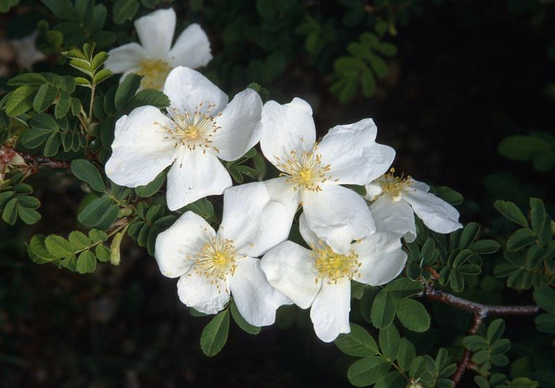 Rosa sericea (Zhongdian)