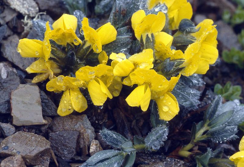 Thermopsis smithiana (Bai Ma Shan 4400m. Dechen, Yunnan)