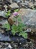 Anemone demissa (Gang Ho Ba 3030m.Yunnan)