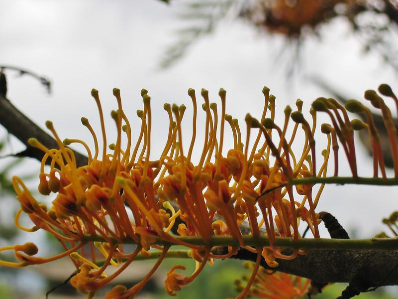 Grevillea robusta, native to Australia, Black Dragon Pool Park, Lijiang 2400m