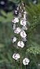 Pedicularis monbeigiana (Zhongdian, Yunnan)