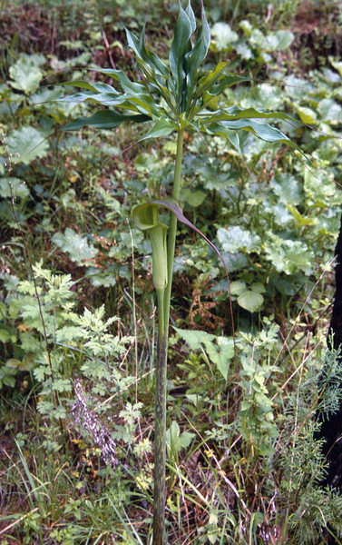Arisaema spec. (Cang Shan Dali, Yunnan)