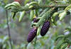 Picea purpurea (syn. P. likiangensis var. purpurea)
