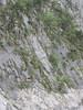 Androsace alchemilloides (Gang Ho Ba 3030m.Yunnan)