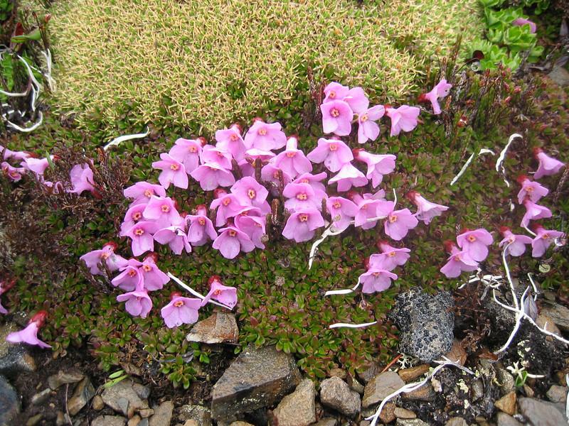 Diapensia purpurea var. rosea (Bai Ma Shan 4800m. Dechen,Yunnan)
