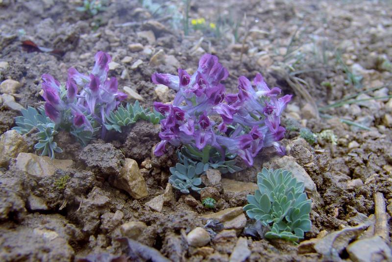Corydalis calcicola (Bai Ma Shan 4800m)