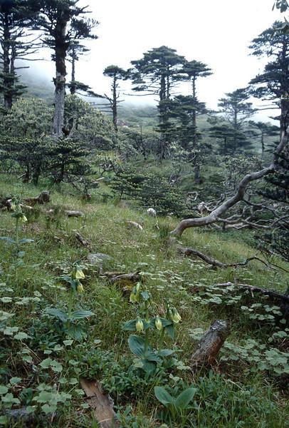 Megacodon stylophorus (Cang Shan Dali, Yunnan)