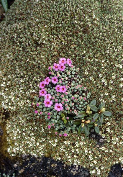 Androsace delavayi and Arenaria polytrichoides (Bai Ma Shan 4600m. Dechen,Yunnan)