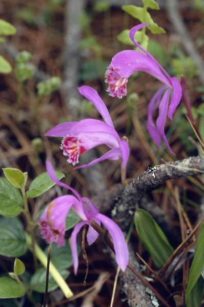Pleione bulbocodioides (Gang Ho Ba 2880m.Yunnan)