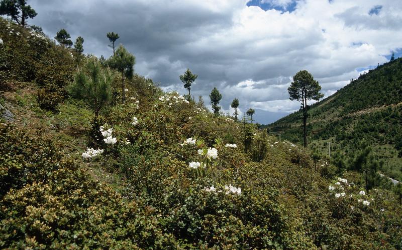 Rhododendron decorum (Napa Hai, Zongdian Yunnan)