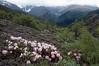 Rhododendron aganniphum (Bai Ma Shan 4600m Yunnan)