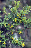 Daphne aurantiaca