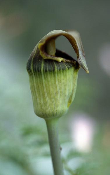 Arisaema flavum (Benzilan, Dechen Yunnan)