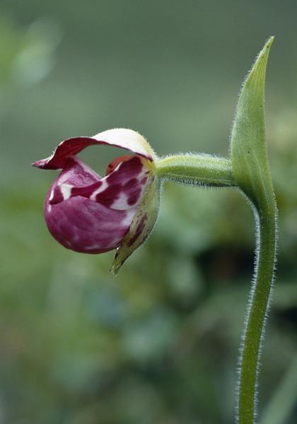 Cypripedium guttatum (Zhongdian, Yunnan)