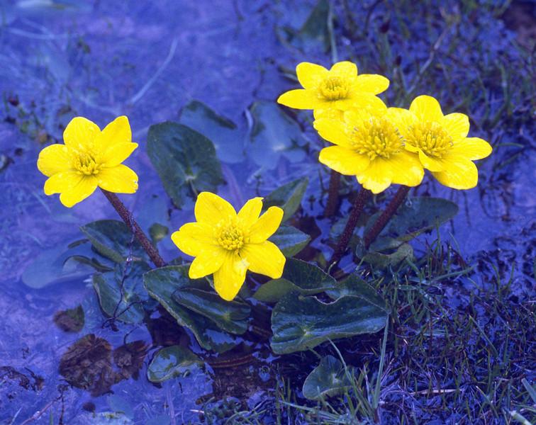 Caltha scaposa (near Zhongdian, Yunnan)