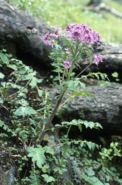 Megacarpaea delavayi (Cang Shan Dali, Yunnan)