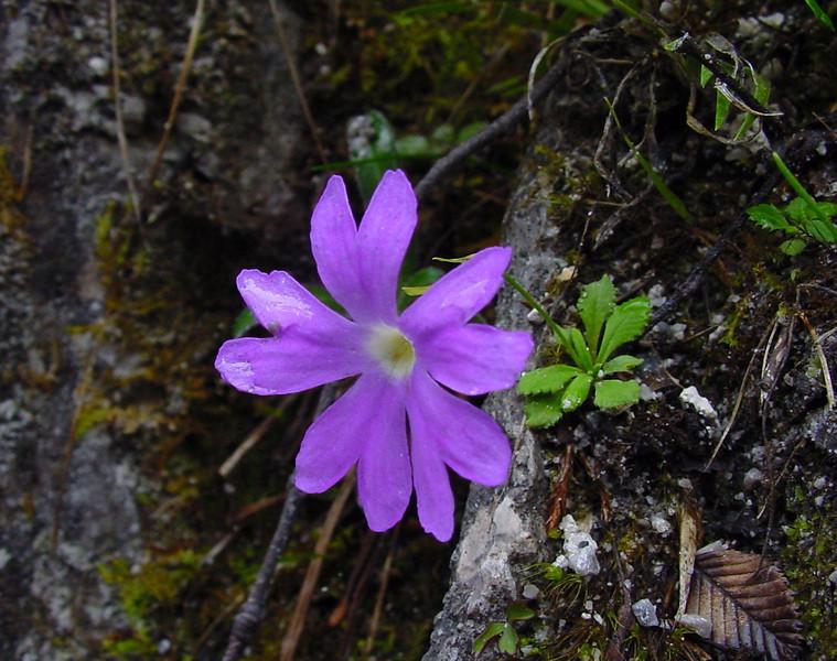Primula yunnanensis