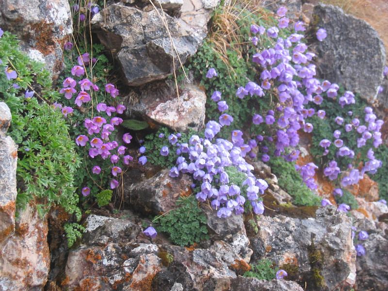 Paraquilegia anemonoides, colour variation (Bai Ma Shan)