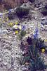Mecanopsis hurridula var. racemosa (Zhongdian, Yunnan)