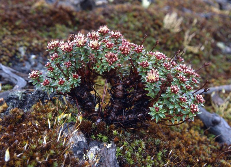Rhodiola fastigata (Bai Ma Shan 4600m. Dechen,Yunnan)