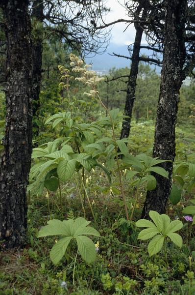 Rodgersia aesculifolia var. aesculifolia
