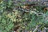 Thalictrum delavayi (Gang Ho Ba 2880m.Yunnan)