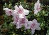 Lepidote rhododendron spec. (Bai Ma Shan 4600m. Yunnan)