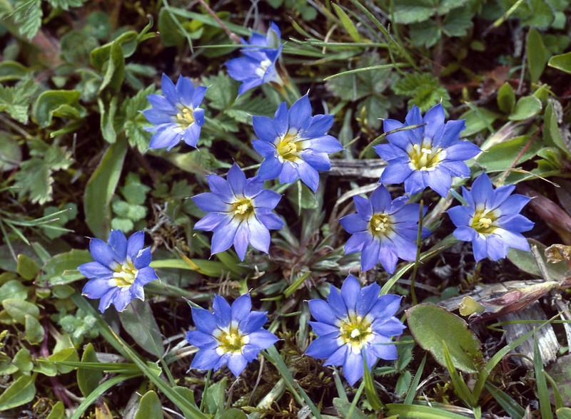 Gentiana pubigera (Napa Hai, Zongdian Yunnan)