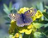 butterfly on Euphorbia nematocypha (Zhongdian, Yunnan)