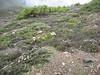Rhododendron aganniphum ( Bai Ma Shan 4600m. Dechen)