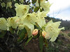 Rhododendron cf. wardii (Zhongdian, near Tianchi lake)