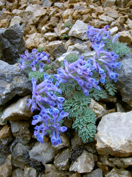 Corydalis melanochlora (Bai Ma Shan 4800m)
